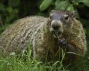 UC Davis News Groundhog Day: A Slightly Sarcastic Origin Story -- but It's True for UC Davis Students in Davis, CA
